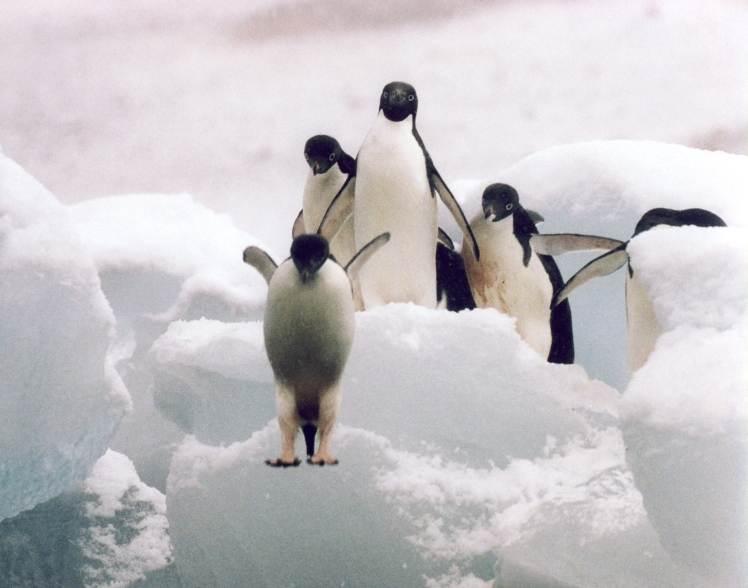 MD114 Antarctica Penguins Jump 2 Michelle Dry
